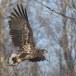 Zeearend -  White tailed eagle 34