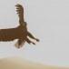 Zeearend -  White tailed eagle 36
