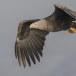 Zeearend -  White tailed eagle 40