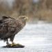 Zeearend -  White tailed eagle 41
