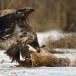 Zeearend -  White tailed eagle 44
