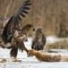 Zeearend -  White tailed eagle 47