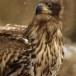 Zeearend -  White tailed eagle 50