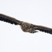 Zeearend -  White tailed eagle 56