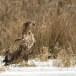 Zeearend -  White tailed eagle 57