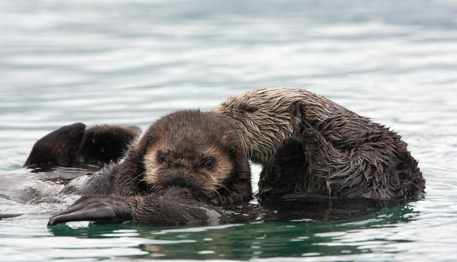 Zeeotter Sea Otter Birdimage