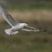 Zilvermeeuw - European Herring Gull 01