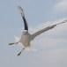 Zilvermeeuw - European Herring Gull 02