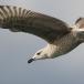 zilvermeeuw-european-herring-gull-07