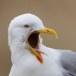zilvermeeuw-european-herring-gull-10