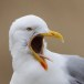 Zilvermeeuw – European Herring Gull