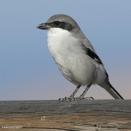 Zuidelijke klapekster - Southern Grey Shrike 03