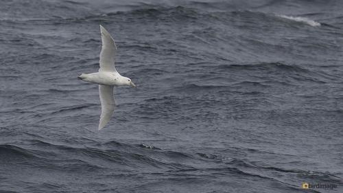 Zuidelijke reuzenstormvogel_Southern Giant Petrel 02