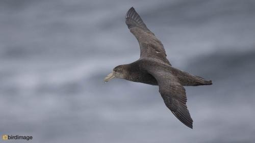 Zuidelijke reuzenstormvogel_Southern Giant Petrel 03
