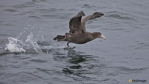 Zuidelijke reuzenstormvogel_Southern Giant Petrel 08