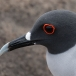 Zwaluwstaartmeeuw – Swallowtail Gull