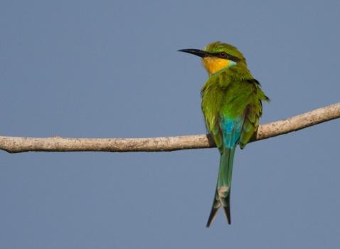 zwaluwstaartbijeneter-swallow-tailed-bee-eater-01