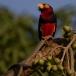 Zwartbandbaardvogel – Bearded Barbet
