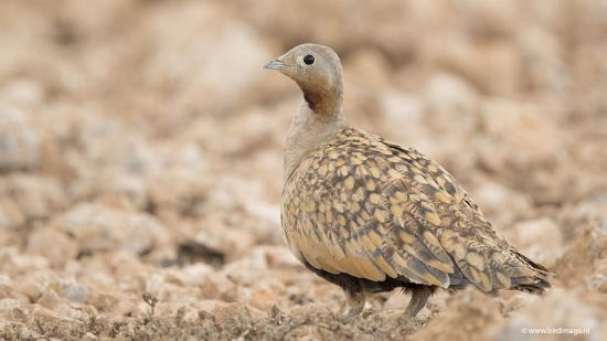 Zwartbuikzandhoen - Black-bellied Sandgrouse 08