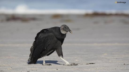 Zwarte gier - Black vulture 003