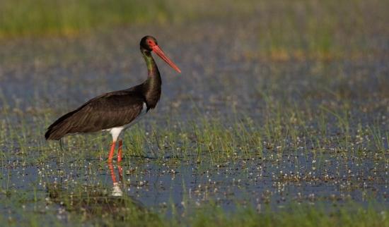 zwarte-ooievaar-black-stork-05
