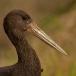 zwarte-ooievaar-black-stork-01