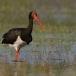 zwarte-ooievaar-black-stork-06