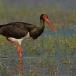 zwarte-ooievaar-black-stork-07