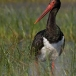 zwarte-ooievaar-black-stork-11