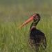 zwarte-ooievaar-black-stork-13