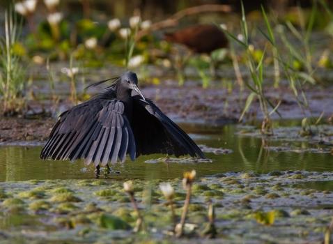 zwarte-reiger-black-heron-02