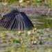 zwarte-reiger-black-heron-01