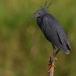 Zwarte Reiger – Black Heron