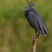 zwarte-reiger-black-heron-05
