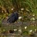 zwarte-reiger-black-heron-06