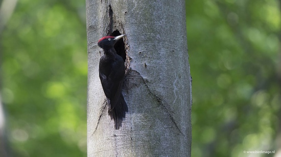 Zwarte specht - Black Woodpecker 19