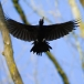 zwarte-specht-black-woodpecker-02