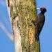 zwarte-specht-black-woodpecker-03