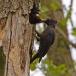 zwarte-specht-black-woodpecker-07
