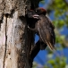 zwarte-specht-black-woodpecker-12