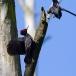 zwarte-specht-black-woodpecker-14