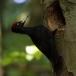 zwarte-specht-black-woodpecker-16