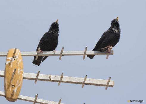 Zwarte spreeuw - Spotless starling 04