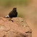 zwarte-tapuit-black-wheatear-01