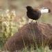 zwarte-tapuit-black-wheatear-05