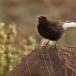 zwarte-tapuit-black-wheatear-06