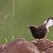 zwarte-tapuit-black-wheatear-07
