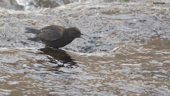 Zwarte waerspreeuw -  Brown dipper 04