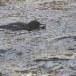 Zwarte waerspreeuw -  Brown dipper 01