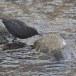 Zwarte waerspreeuw -  Brown dipper 02